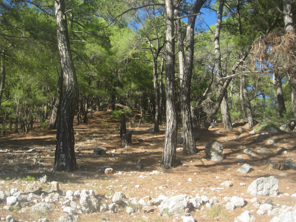 Pine Forest typical of area